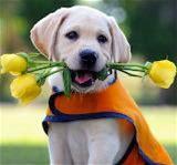 Cute Seeing Eye Labrador Puppy... - jigsaw puzzle (4 pieces)