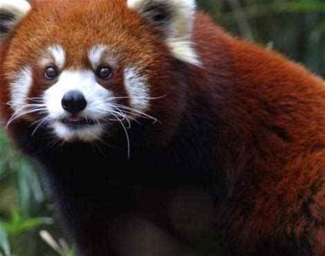 Red Panda at the Nashville Zoo in Tennessee