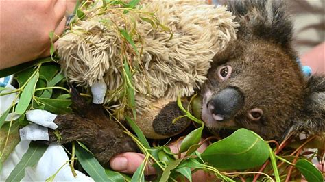 Czechs help koalas and corroboree frogs Twenty million crowns. That's the amount collected in just one month during the collection organised by Prague…