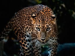 Leopard Dream Meaning