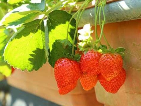2020內湖草莓季2月15日正式開跑! 莓好時光x生活新樂趣