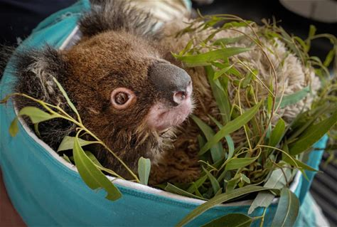 Photo gallery: Money from Prague Zoo's collection is already helping Australian animals Thanks to the public, CZK 20,000,000 has already been raised in Prague Zoo's collection account to help…