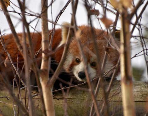 A Red Panda (Ailurus Fulgens) at Colchester Zoo, UK.