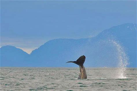 Tours & Sightseeing Mendenhall Glacier, Whale-Watching with Juneau Port Pickup While in port in Juneau, make
