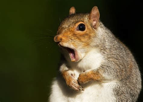 Squirrels express frustration by twitching their tails ...
