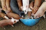 Pigs Feeding at a Trough - Nicko's Big Picture