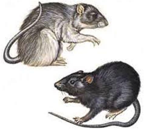 bubonic plague rats MEMES