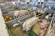 Intensive Farming Pigs | www.pixshark.com - Images ...