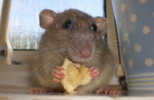 Sad lonely lady rats may really eat their feelings ...