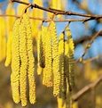 Let's go hazel nuts: A hazel tree will give your garden a ...