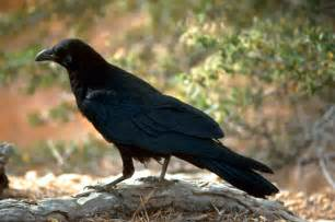 ANIMAL Teachers: Winged Ones: Crow Family