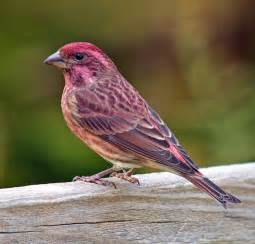 Note this Purple Finch is rich purple red all over and features a ...