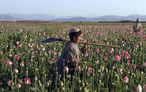Harvesting opium in Afghanistan's poppy fields