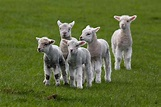 Sweet Heart Touching Lambs