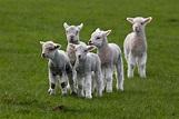 Sweet Heart Touching Lambs