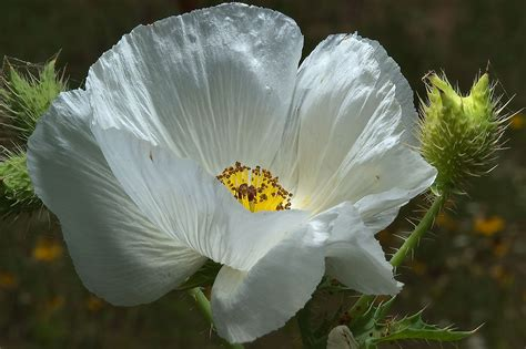 White poppy - search in pictures
