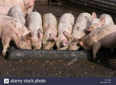 Pigs Eating From Trough Stock Photos & Pigs Eating From ...