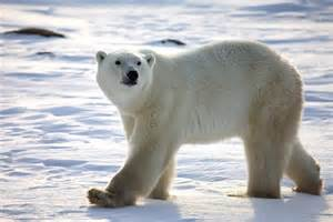 Why Are Polar Bears Endangered - Challenges Polar Bears Face