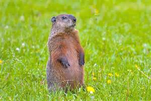 ... Musings by a MadJellyfish: How did that groundhog get the job