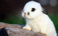 Fluffy White Bunny Wallpapers Pictures Photos Images