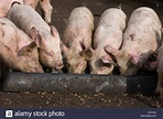 Pigs feeding from a metal trough at feeding time on the ...