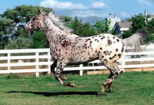 Appaloosa pictures, video, and information.