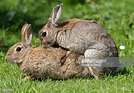 Rabbits Mating Stock Photos and Pictures | Getty Images