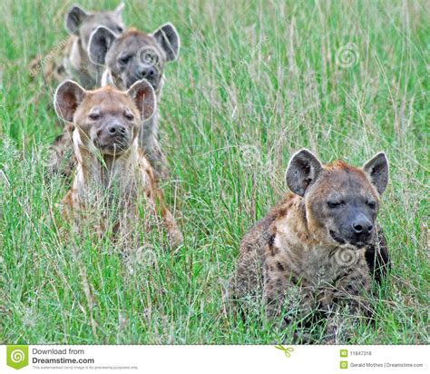 Hyena Pack Royalty Free Stock Photos - Image: 11847318