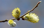 File:Willow catkin 2 aka.jpg - Wikipedia