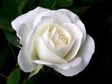 Single White Roses |Rose Wallpapers