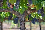 Grapes on the Y vine | New Heaven on Earth!