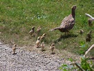 Guide for raising pheasants as a backyard flock | The ...