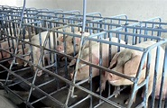 Intensive Farming Pigs | www.pixshark.com - Images ...
