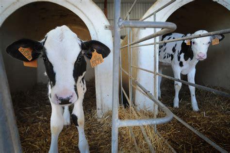A Dairy/Veal Farm   Kirby Mountain