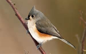 Tufted Titmouse wallpaper #3617