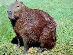 ... conheça-um-pouco-sobre-os-animais: CAPIVARA: o maior roedor do Mundo
