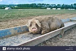 Trough Pig Farm Stock Photos & Trough Pig Farm Stock ...