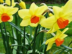 Description 03270001 Welsh Daffodils.jpg