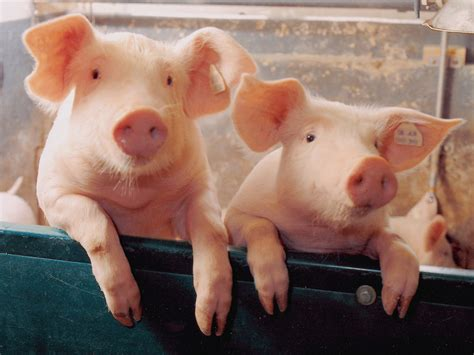 Pig Wallpapers   Fun Animals Wiki, Videos, Pictures, Stories
