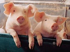Pig Wallpapers | Fun Animals Wiki, Videos, Pictures, Stories