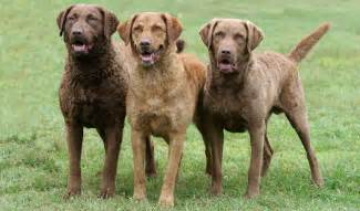 Animal Facts: CHESAPEAKE BAY RETRIEVER