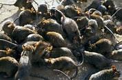 Black Death plague outbreak hit UK | Daily Star