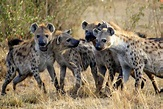 Why Donald Trump Couldn't Lead A Pack of Hyenas