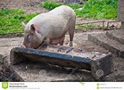 Feeding Trough For Pigs | www.pixshark.com - Images ...