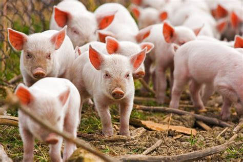 Pig idioms and expressions | OxfordWords blog