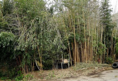 The Day - Bamboo grove leads to criminal charge in New ...