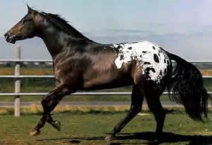 ... black appaloosa horse black appaloosa horse beautiful black appaloosa