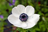 White poppy seed flower | Poppy seed flowers come in many ...