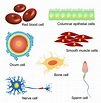 Cells - worksheet from - Times Tutorials