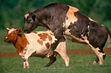 Bull mounting a cow | Heidi & Hans-Juergen Koch